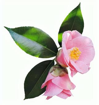 Cut out material Camellia (with pink leaves)