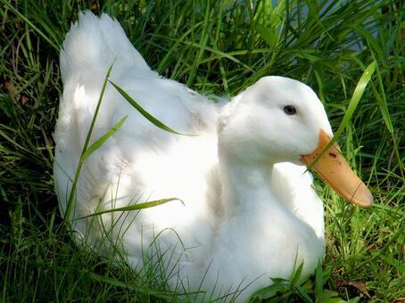 귀여운 오리 _Duck