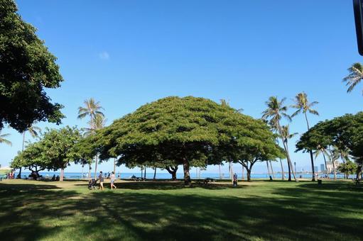 하와이 나무