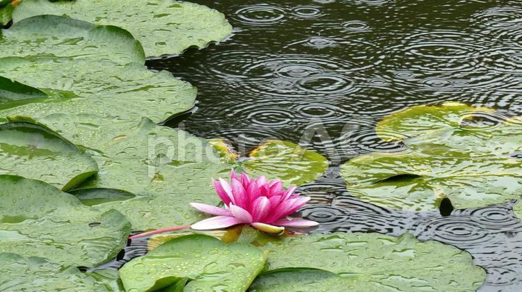 蓮池の雨の写真