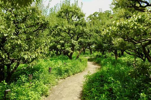 Small diameter passing through the plum garden in early summer