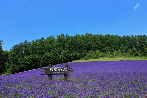 Lavender field in Furano city