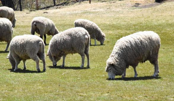 Grass-eating sheep