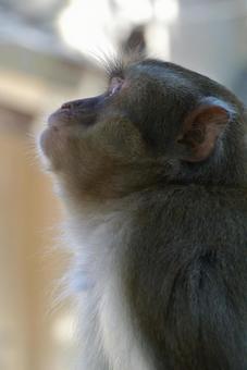 猴子麵朝上