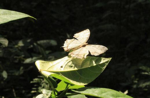 Butterflies with damaged wings