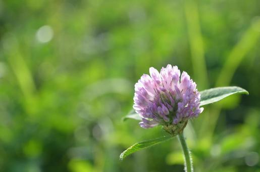 토끼풀 꽃 1