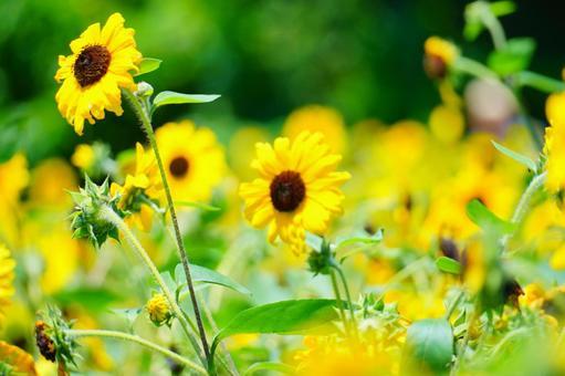 Sunflower field in the green