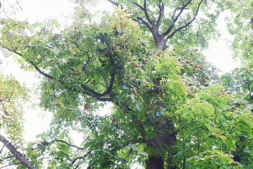 Horse chestnut tree with lots of fruits