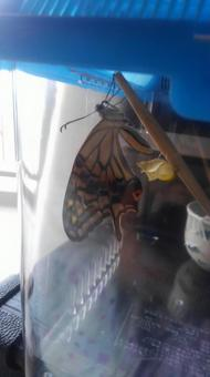 호랑 나비의 우화