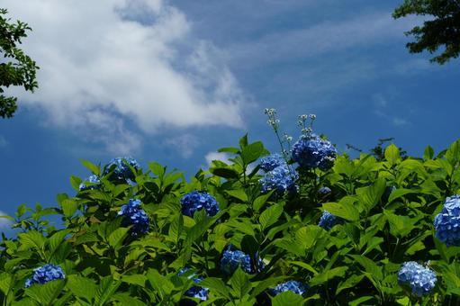 Hydrangea in Hillside Park, blue sky and white clouds Hillside Park
