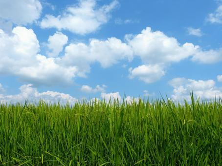 Summer sky paddy field