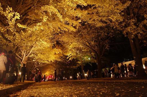 Hokkaido University ginkgo bunching tree 3 nights
