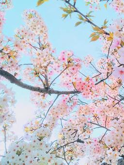 Sakura Sakura Sakura no Hana Sakura and Sky Blue Sky and Sakura Sky and Sakura Congratulations Sakura Sakura and Sky Light Shine Sakura Wallpaper Background Entrance Ceremony