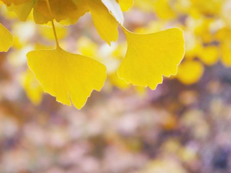 Ginkgo that turns yellow