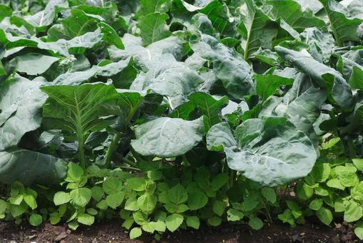 채소 재배