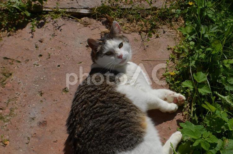 ひなたぼっこ中の猫のマシックの写真