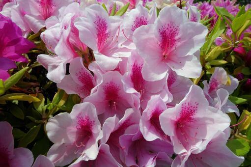 Azalea flower #09