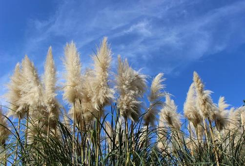 Blue sky and pampas grass