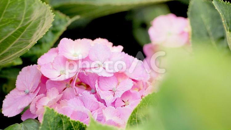 小岩菖蒲園の紫陽花の写真