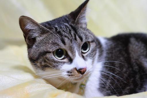 Tiger cat 2