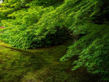 Mossy garden and blue maple