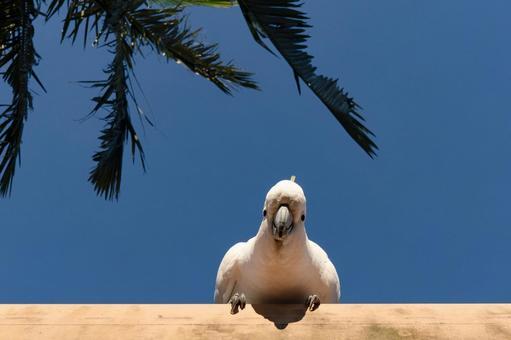 澳大利亞野鳥基巴丹英文名稱Cockatoo藍天和一隻鸚鵡