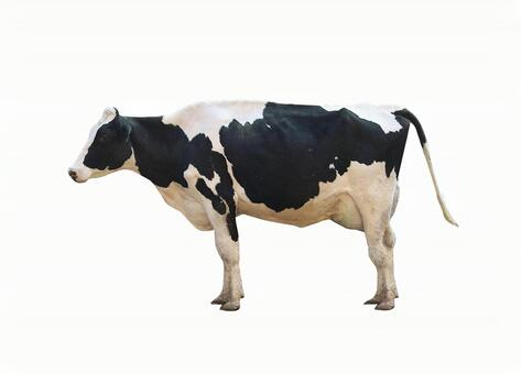 Cow (available through psd background)