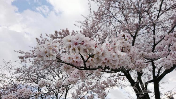 秦野桜まつりで見た満開の桜の写真