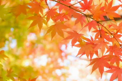 Autumn leaves maple autumn