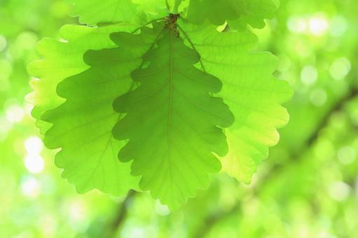Young leaves of Kashiwa Kashiwa Fresh green leaves