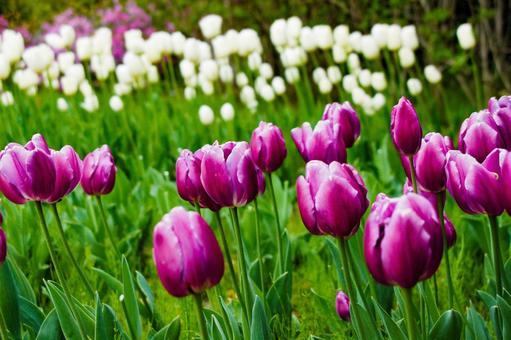 Color of tulips