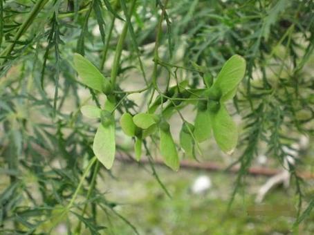 Maple fruit (seed)