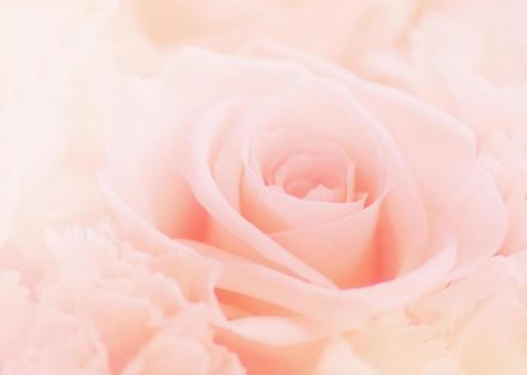 Roses _ pale pink