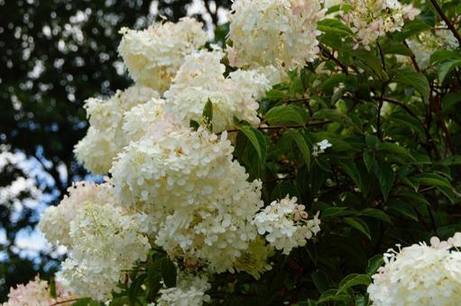 Shining white flowers of Panicled hydrangea