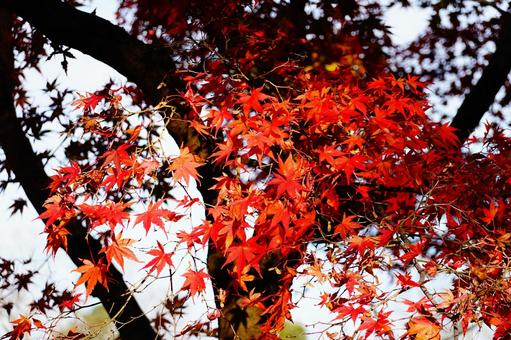 Autumn leaves in Kyoto Red maple background