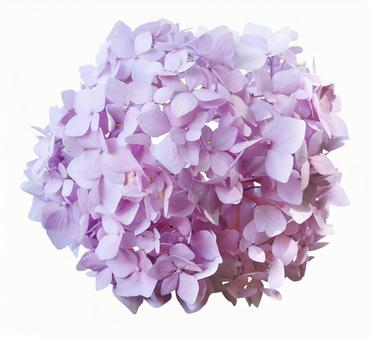 Cut out material hydrangea red purple