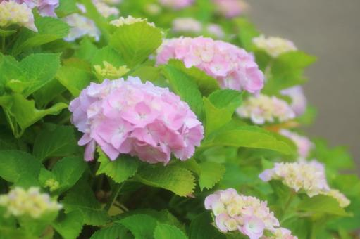 Pink Hydrangea 3