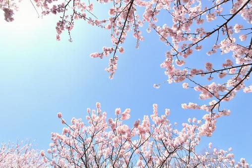 만발한 벚꽃