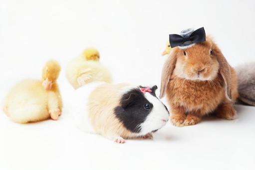兔子和鸭子和豚鼠4