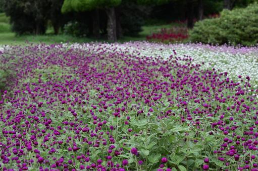 Summer flower, Senboku