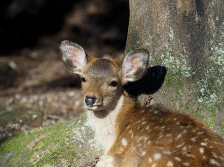 Cute fawn in Nara Park