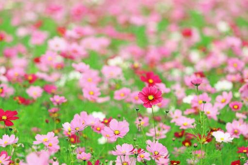 Autumn cherry blossom cosmos colorful flower garden