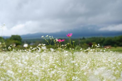 Blurred grass and cosmos
