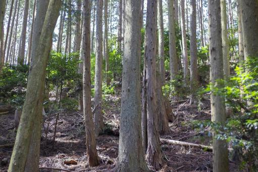Cedar Forest 2