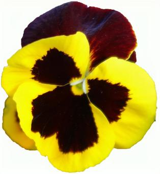 Yellow pansy flower (with PSD)