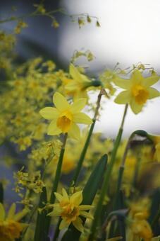 Narcissus yellow