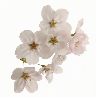 Crop pictures Sakura petals 16 - 03
