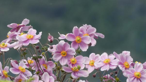 Japanese anemone flower pink 1