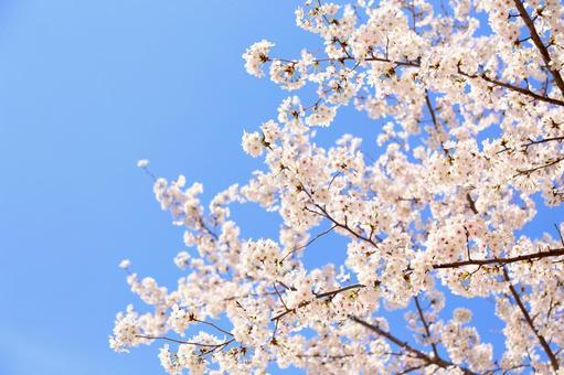 만개 한 벚꽃 15