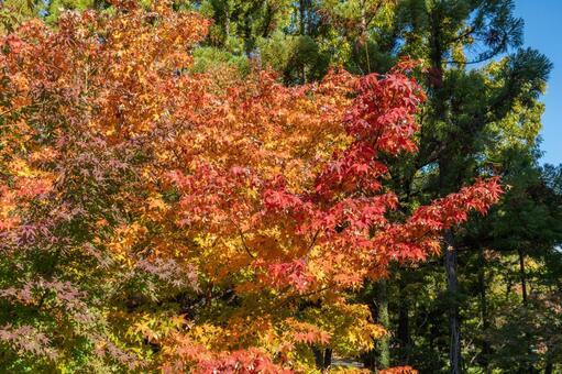Autumn leaves of Tsurumi Ryokuchi Park